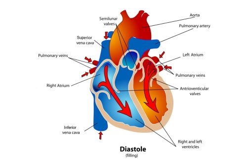 small resolution of diagram of the heart during the diastole phase of the cardiac cycle