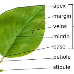 Parts Of A Flowering Plant Diagram Stove Plug Wiring The Leaves And Leaf Anatomy