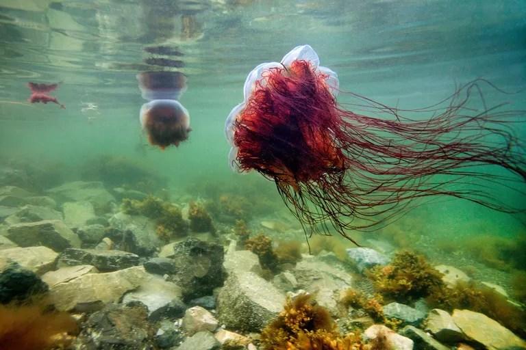 Lion's Mane Jellyfish / James R.D. Scott/Getty Images