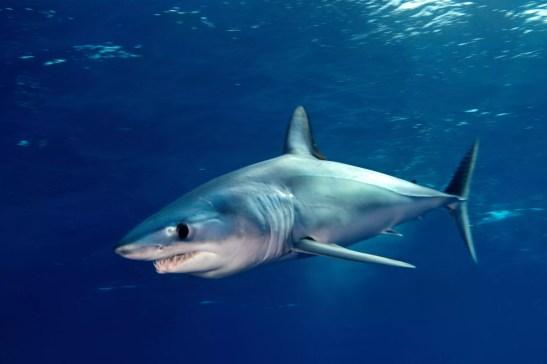 Tubarões mako