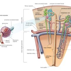 Nephron Diagram From A Textbook Range Hood Wiring Kidney Anatomy Definition Function Kidneys Nephrons And Disease