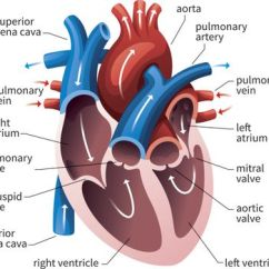 Interior Heart Diagram Vauxhall Astra Wiring Anatomy Of The View Valves And Sounds