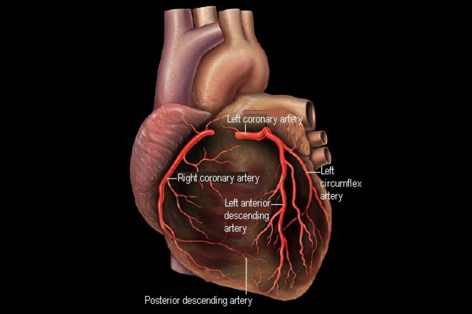 hight resolution of the heart and coronary arteries diagram