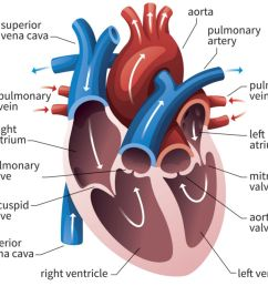 human heart cross section [ 1500 x 999 Pixel ]