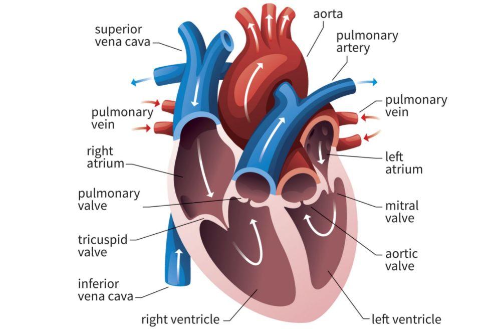 medium resolution of human heart cross section