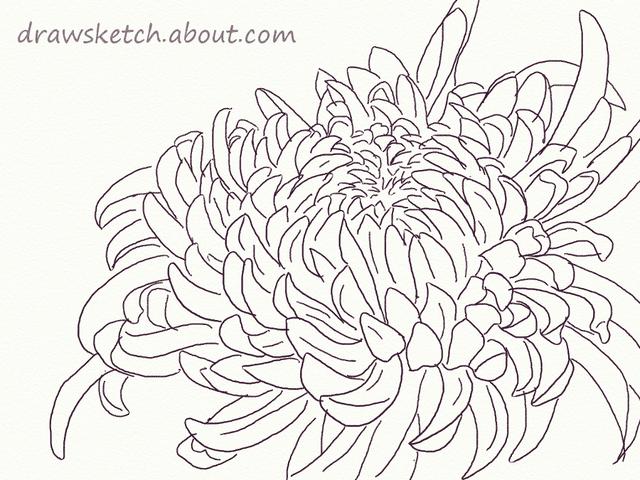 Learn How to Draw an Ogiku Chrysanthemum Bloom