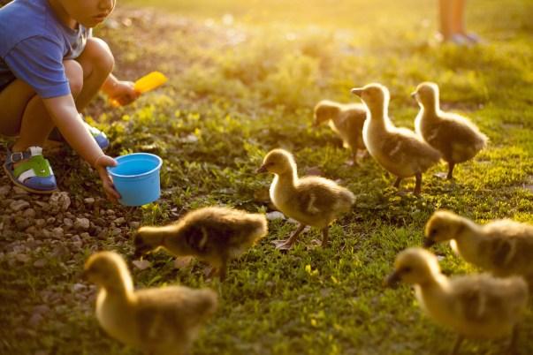 Mari menino alimentando patos na fazenda