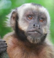 Capuchin Status Monkey