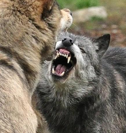 Wolf Baring Teeth