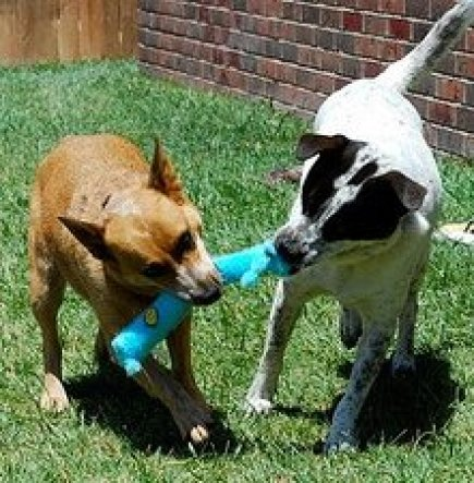 Two Dogs Fighting Over a Toy