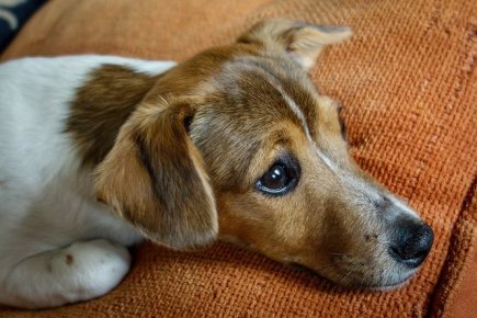 Jack Russell Terrier Looking Sad