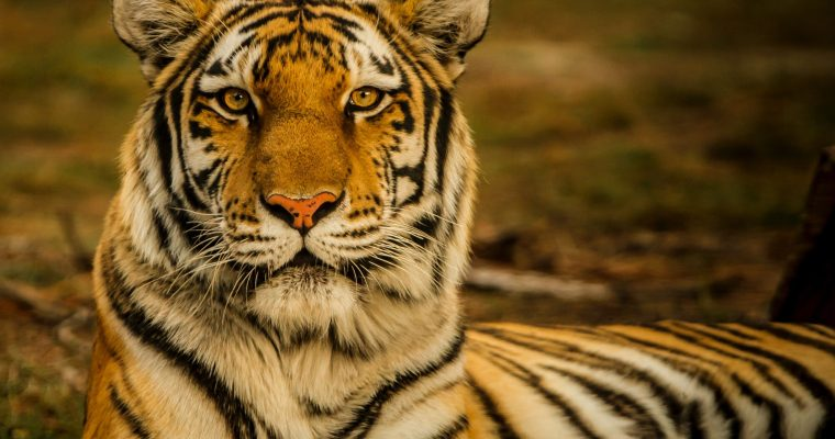 Tiger population in Thailand increases