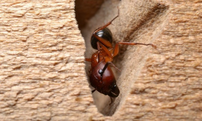 Termite Damaged Wood Showing Rotting Galleries Outside Of A City Home Carpenter Ants Create