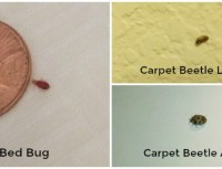 Bed Bug Larvae Vs Carpet Beetle Larvae | www.imgkid.com ...