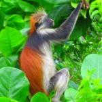 Red Colobus monkey, Jozani Forest, Zanzibar