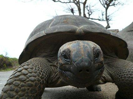 Giant Turtle out for a walk,La Digue,Seychelles,Africa (255)