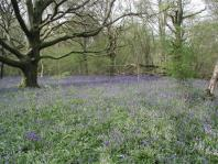 a view of bluebells under beech treas