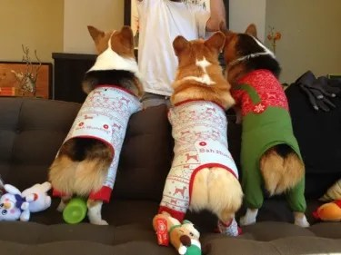 Xmas Corgi Butts