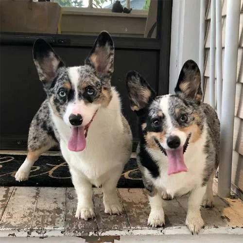 Dottie and Duchess Corgis