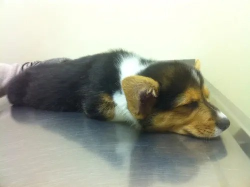 Corgi puppy visit