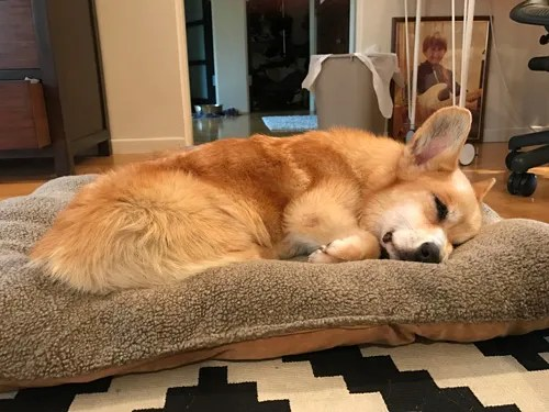Corgi with back surgery