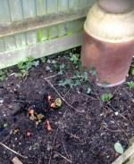 rhubarb 2 Feb14