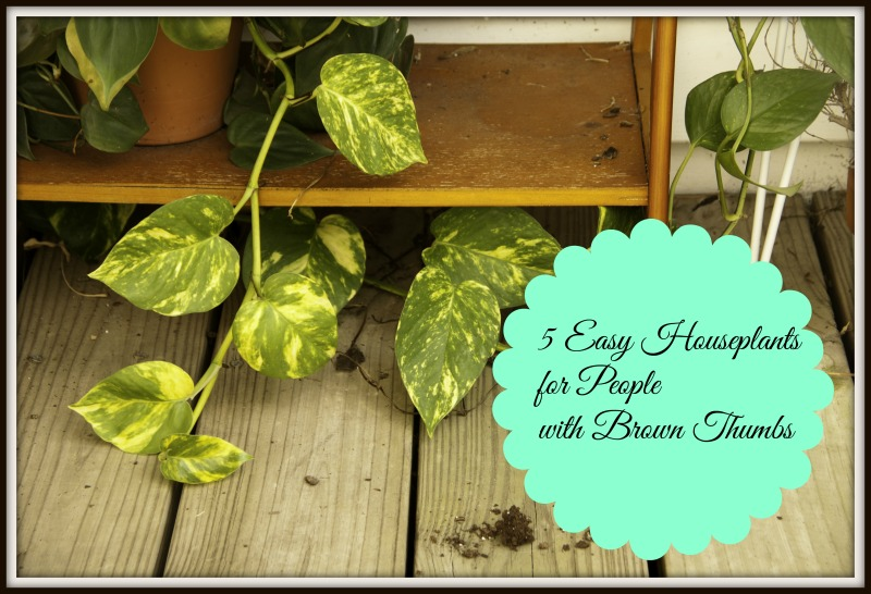 The multi colored leaves of the pothos plants are intriguing and decorative.