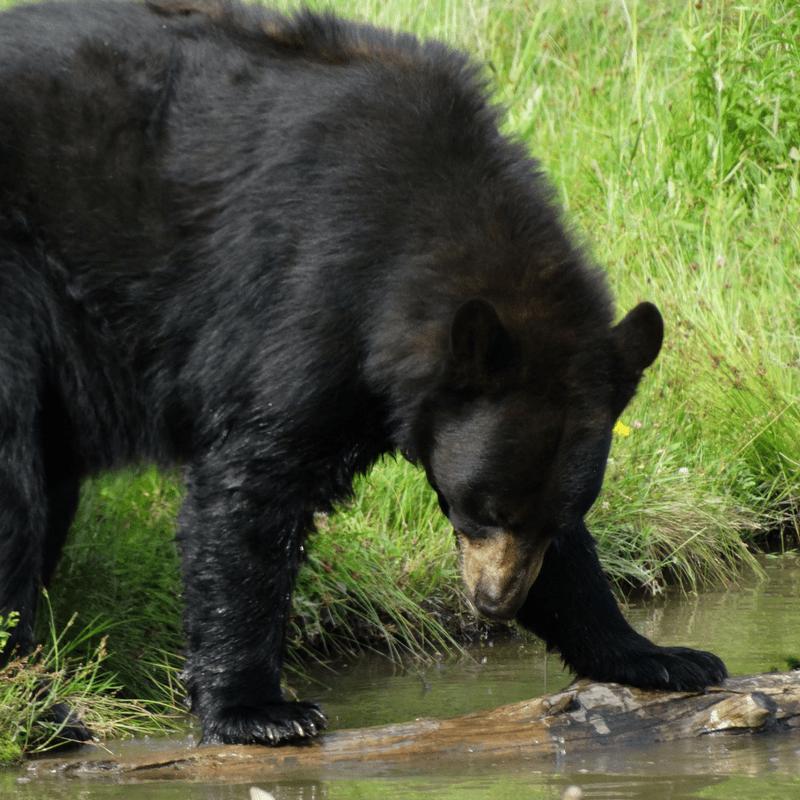 bear_parc_omega