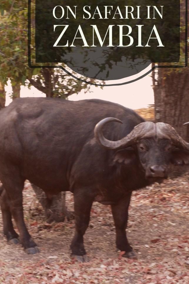 safari_bull
