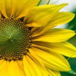 yellow_sunflower