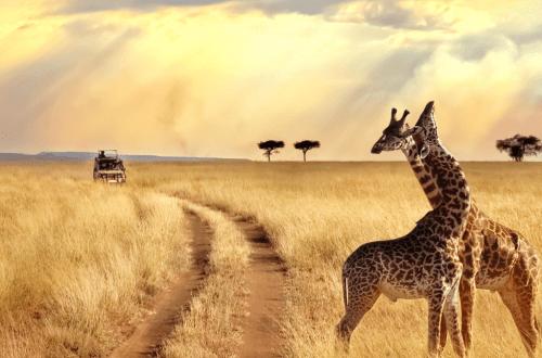 safari_scene_giraffes