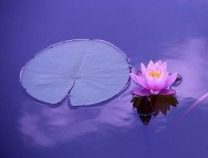 Lotus on water.