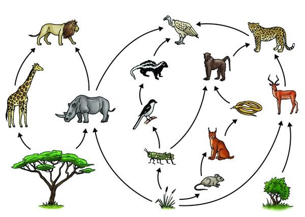 Food Web of Savanna Biome Tropical Savanna Food Web