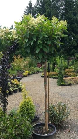 Hydrangea tree - the plant place