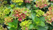 Hydrangea - The plant Place