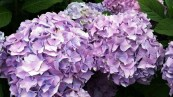 close up Hydrangea - The plant place