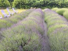 Evergreen Valley Lavender Farm 11