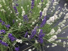 Evergreen Valley Lavender Farm 3