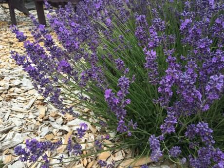 Evergreen Valley Lavender Farm 8
