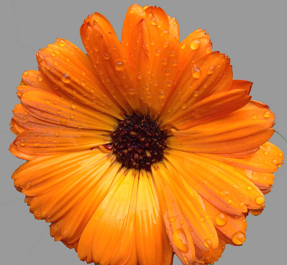 Calendula officinalis Thyme Breaks