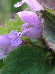 Red-Dead-Nettle Flower