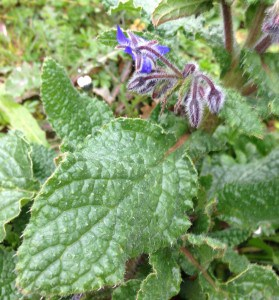 Borage Leaf Close Up