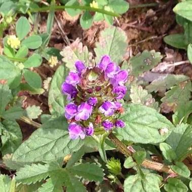 Prunella self heal flower leaf