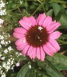Asteraceae (Compositae) Echinaceae