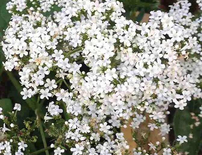Valeriana offincinalis flowerhead Aude