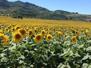 sunflower tournesol oil seed nutrition
