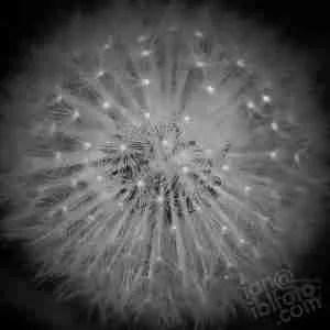 dandelion Taraxacum