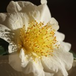 Winter Bloomers:  Camellias