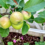 The Secret to Growing Backyard Apple Trees