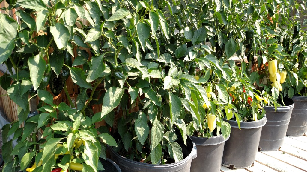 Peppers in black pots